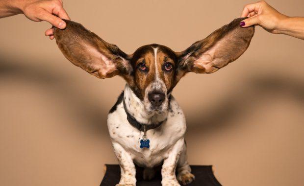 Basset houd - better listener