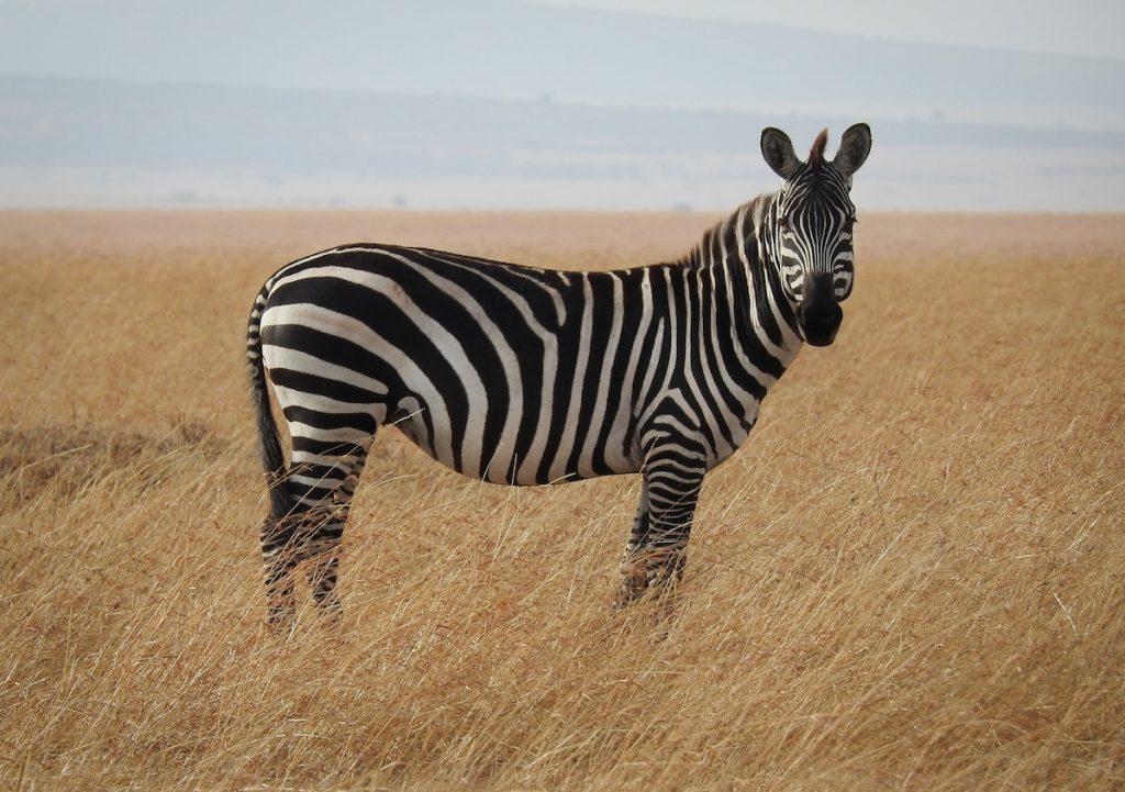 stress relief technique - the shaking zebra